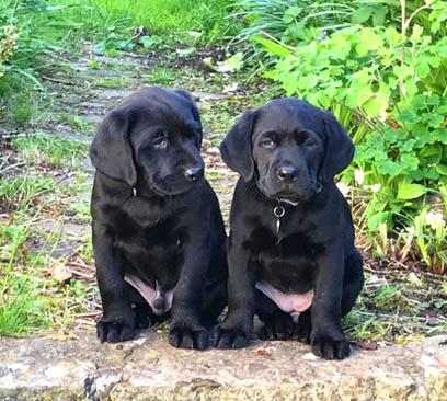 Lewtrenchard Labradors: Labrador breeder, Devon, England