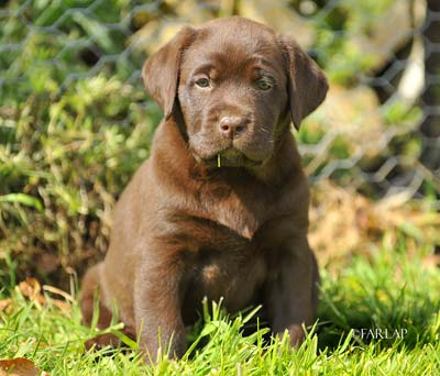 Best labrador breeders uk